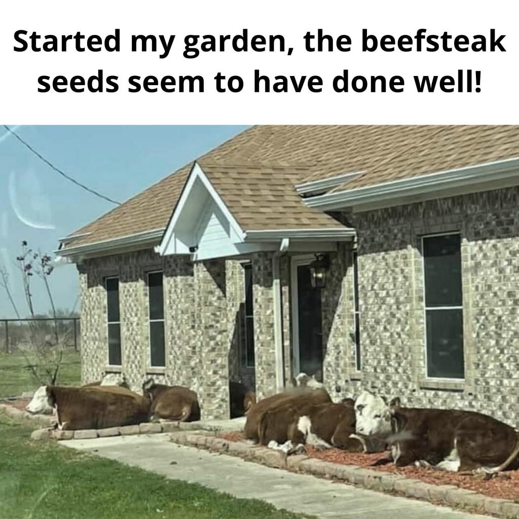funny cows in flowerbed meme growing steaks